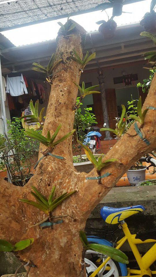 Lan quế tím ghép vào khúc cây gỗ