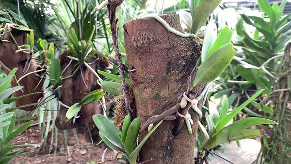 Cách ghép lan quế tím vào thân gỗ lũa - hình minh hoạ.