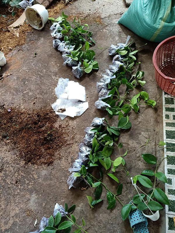 Kỹ thuật trồng lan Cẩm Cù.