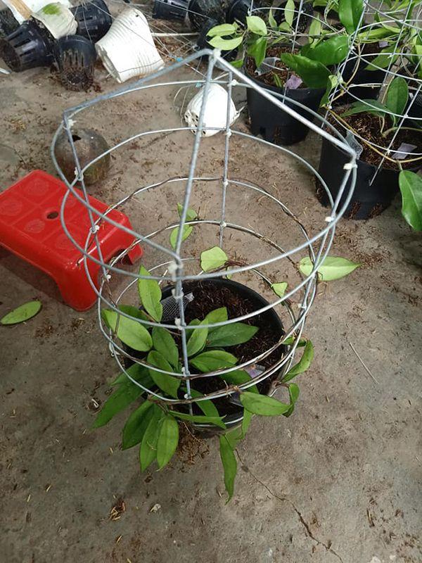 cách trồng lan cầm cù