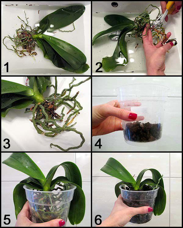 Cách trồng lan đơn giản tóm tắt bằng ảnh