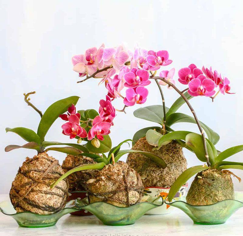 Cách trồng lan hồ điệp bằng xơ dừa đơn giản