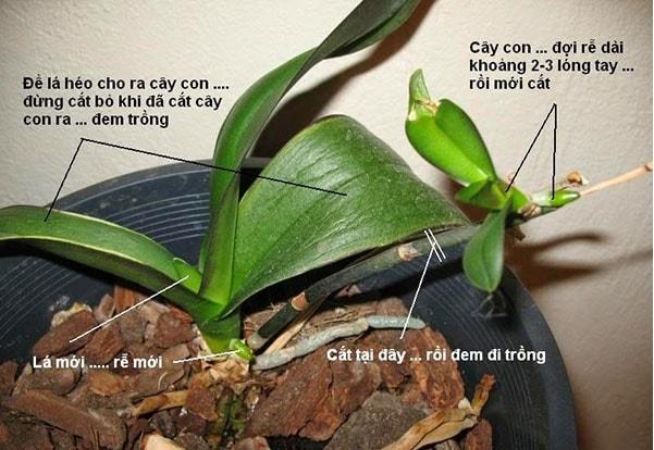Cách trồng lan hồ điệp đơn giản nhanh chóng.