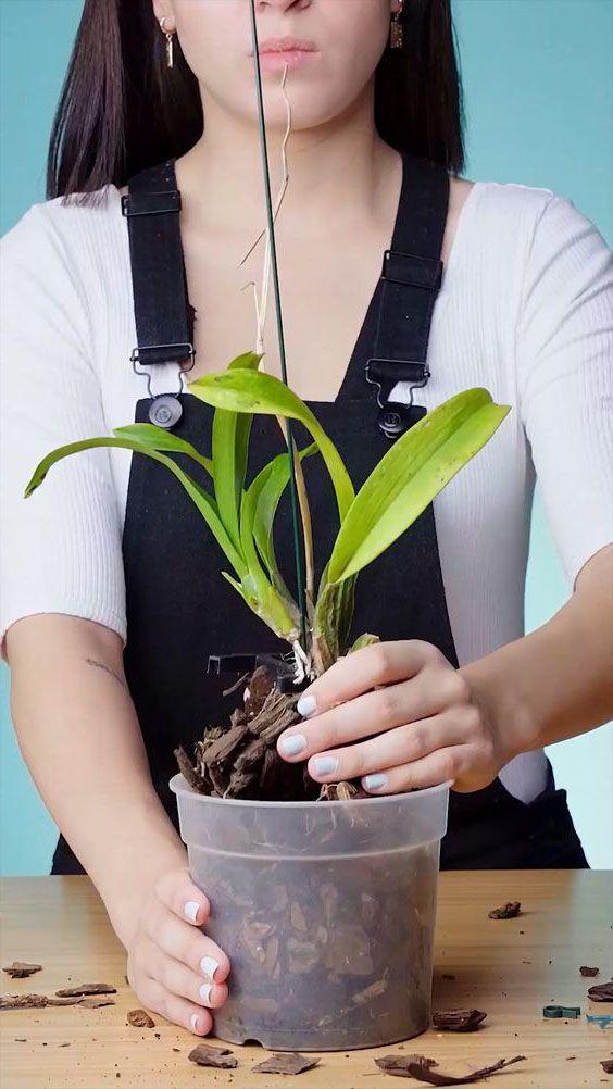 Cách trồng lan vào chậu nên có 1 thanh trụ để treo, chống cho thân lan.