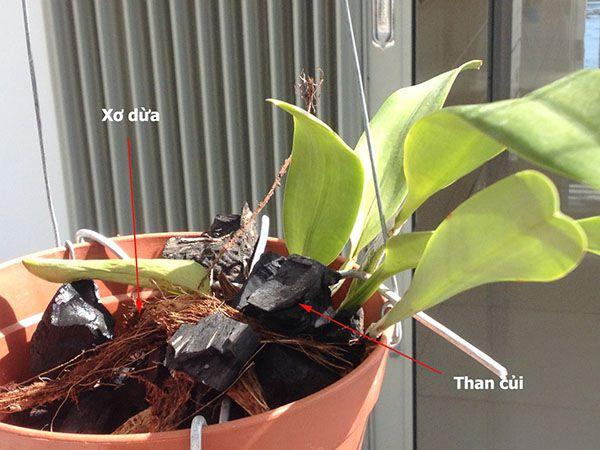 Kết hợp than củi và xơ dừa làm giá thể trồng lan hồ điệp.