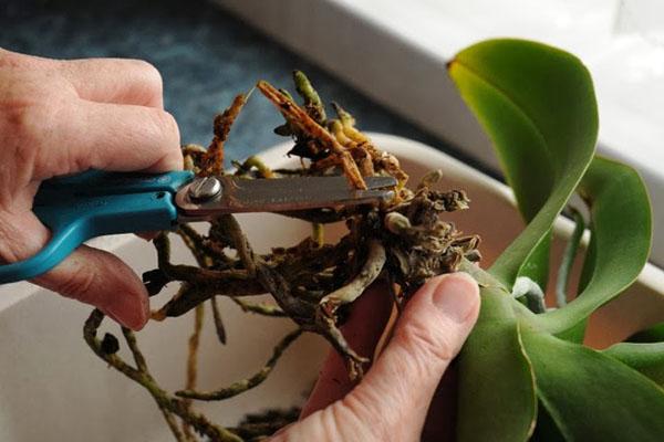 Có thể rễ lan hồ điệp đang gặp vấn đề dẫn tới héo lá nhăn lá.