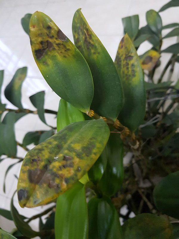 Lan bị nấm, nhiễm bệnh vàng lá.