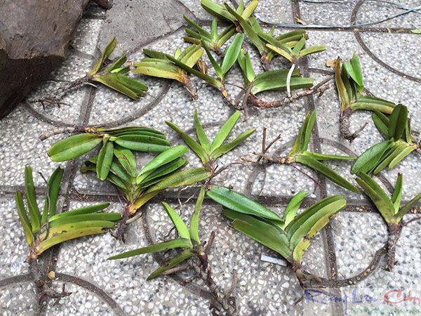 Các keiki thân lan bán với giá 8000đ/thân bóc từ cây lan rừng.