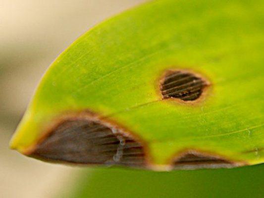 Những đốm thối nhỏ khiến lan hồ điệp bị nhũn lá.