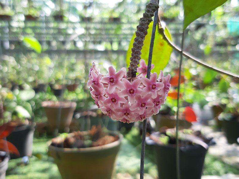Mặt hoa lan cẩm cù.