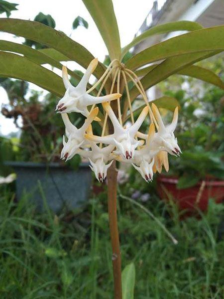 Hình dáng của hoa lan cẩm cù cũng dễ dàng cho chúng ta biết lan cẩm cù có bao nhiêu loại.