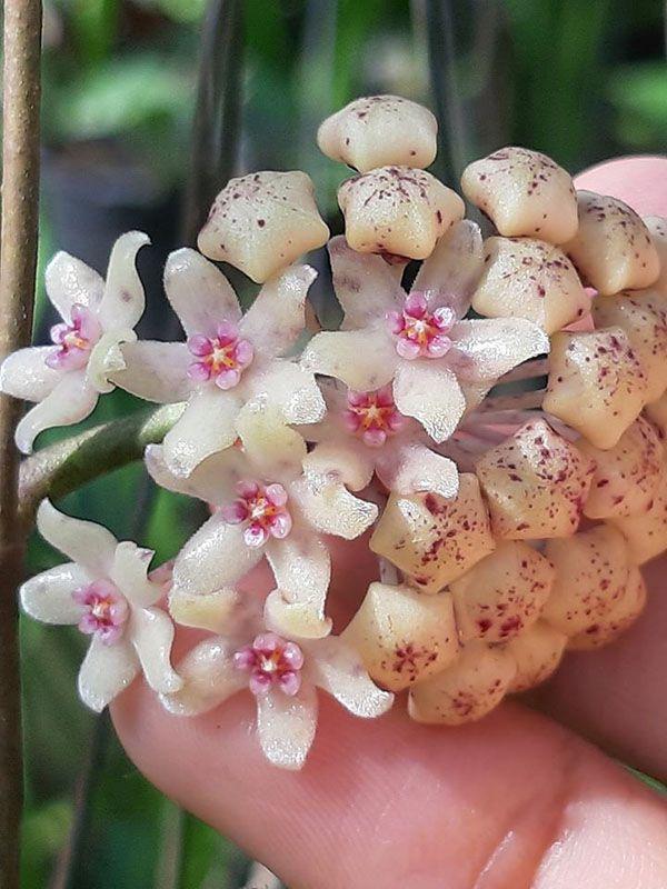 Lan cẩm cù ra hoa vào mùa nào phụ thuộc chế độ chăm sóc.