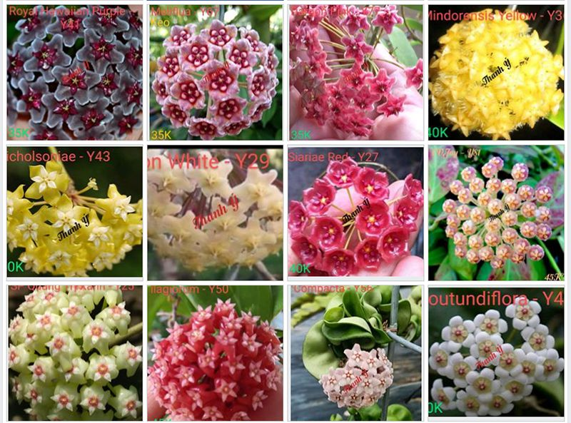 Một trong những mặt hoa của hoa lan cẩm cù.