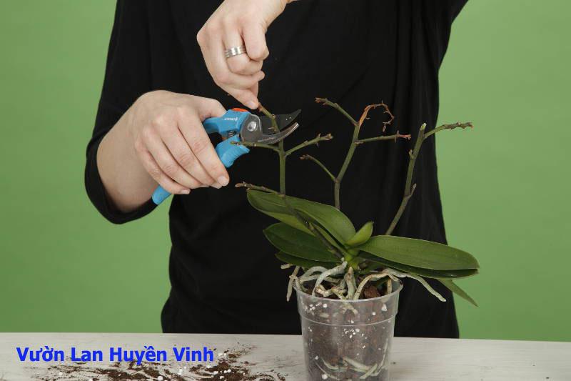 Xử lý cây lan hồ điệp khỏi thân già, rễ thối và lá vàng.