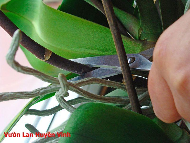 trồng lan hồ điệp vào chậu bằng xơ dừa