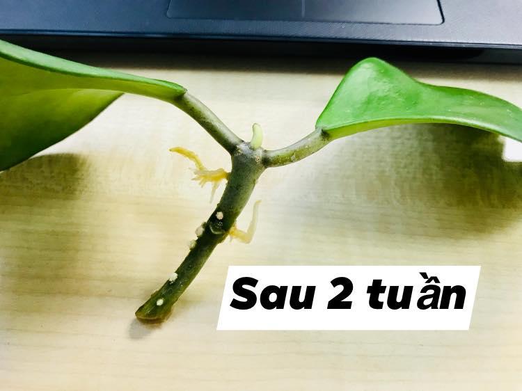 Sau 2 tuần thân lan cẩm cù đã bắt đầu ra rễ.