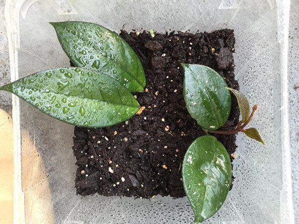 kỹ thuật trồng lan cẩm cù