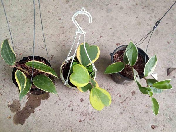 Lan Cẩm Cù đột biến có viền lá khác màu với màu lá.