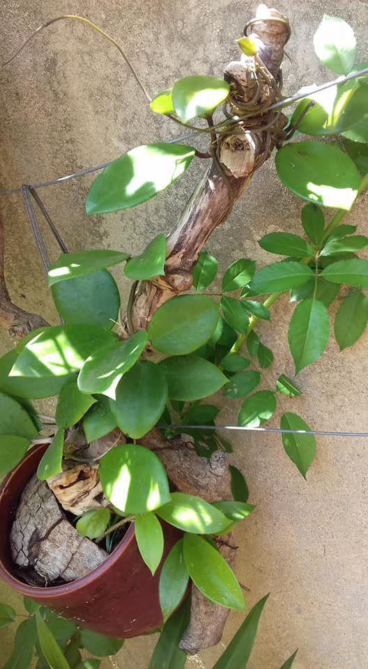 Lan cẩm cù ghép gỗ còn giữ nguyên chậu cây để giúp cây sinh trưởng.