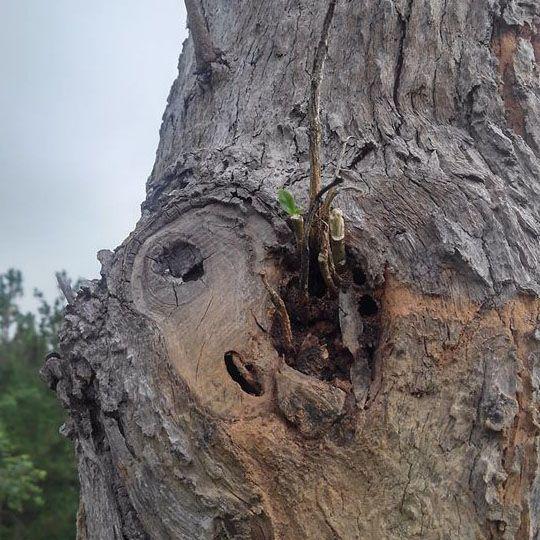 lan cẩm cù ghép gỗ