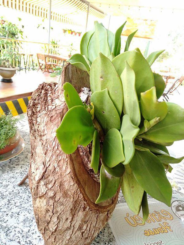 Thân lan cẩm cù ghép với một miếng gỗ tròn.