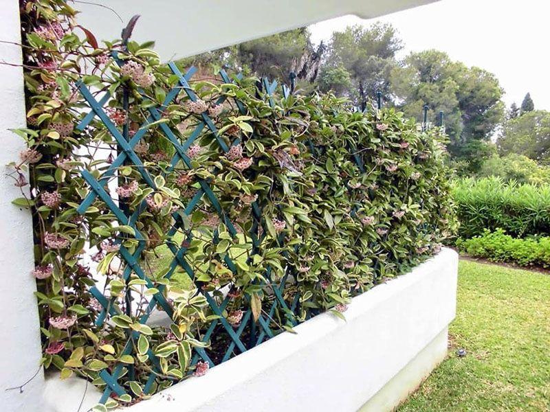 lan cẩm cù nở hoa tháng mấy