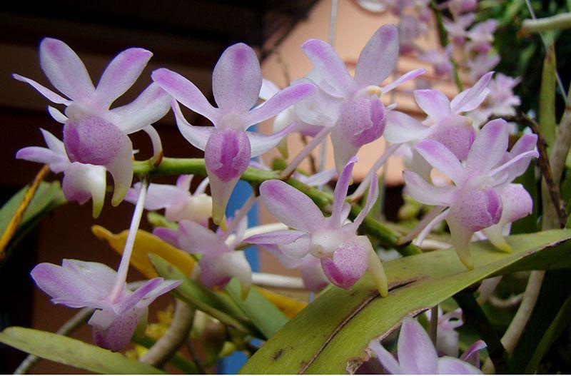 Giá lan quế tím cũng phụ thuộc thời điểm ra hoa. Càng dịp lễ tết giá càng cao.
