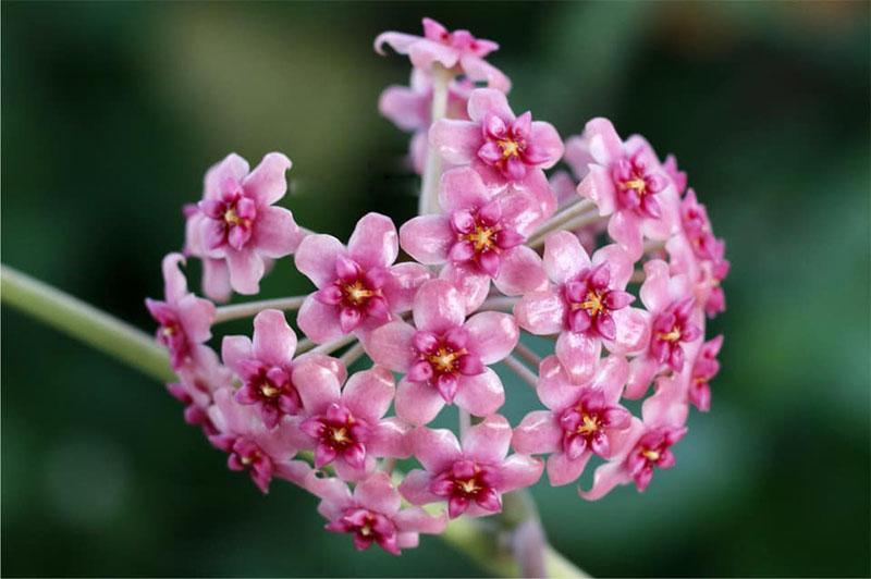 Mặt hoa lan cẩm cù màu đẹp.