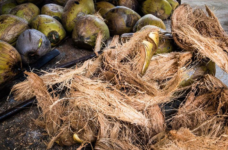 Dùng xơ dừa làm giá thể trồng lan hồ điệp.