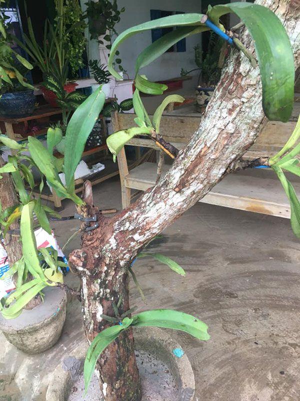 Ghép lan quế tím trên thân gỗ lũa.