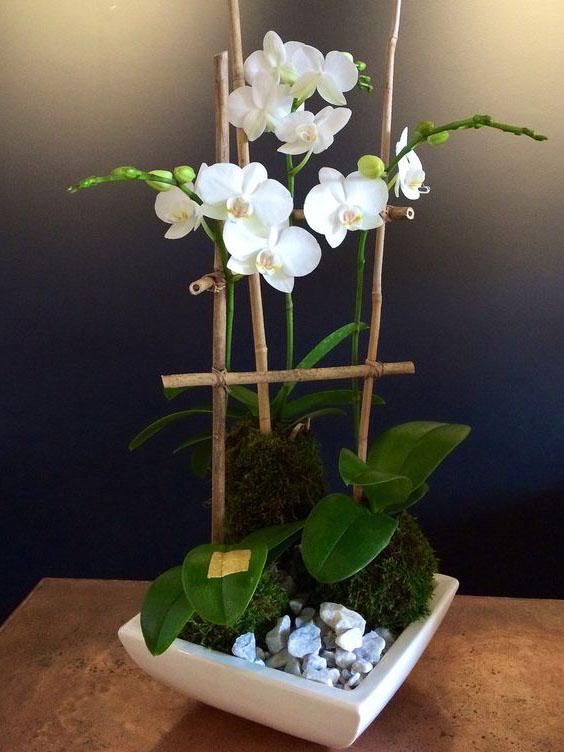 Hoa lan hồ điệp trắng tượng trưng cho sự tinh khôi.