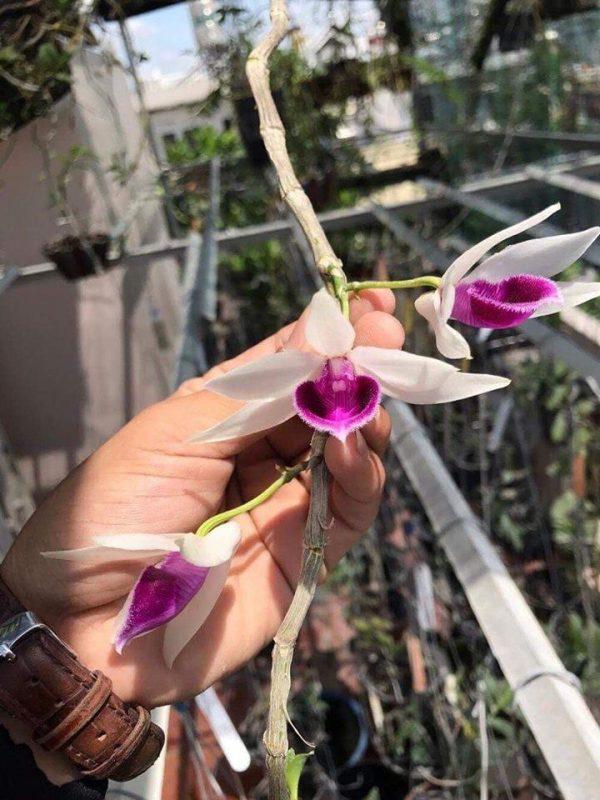 Năm cánh trắng Lâm Xung bệt đang ra hoa