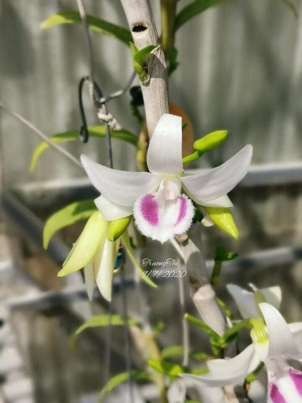 Mặt hoa 5ct Hà Tĩnh với phần lông bạch tuyết chạy dọc theo lưỡi hoa lan