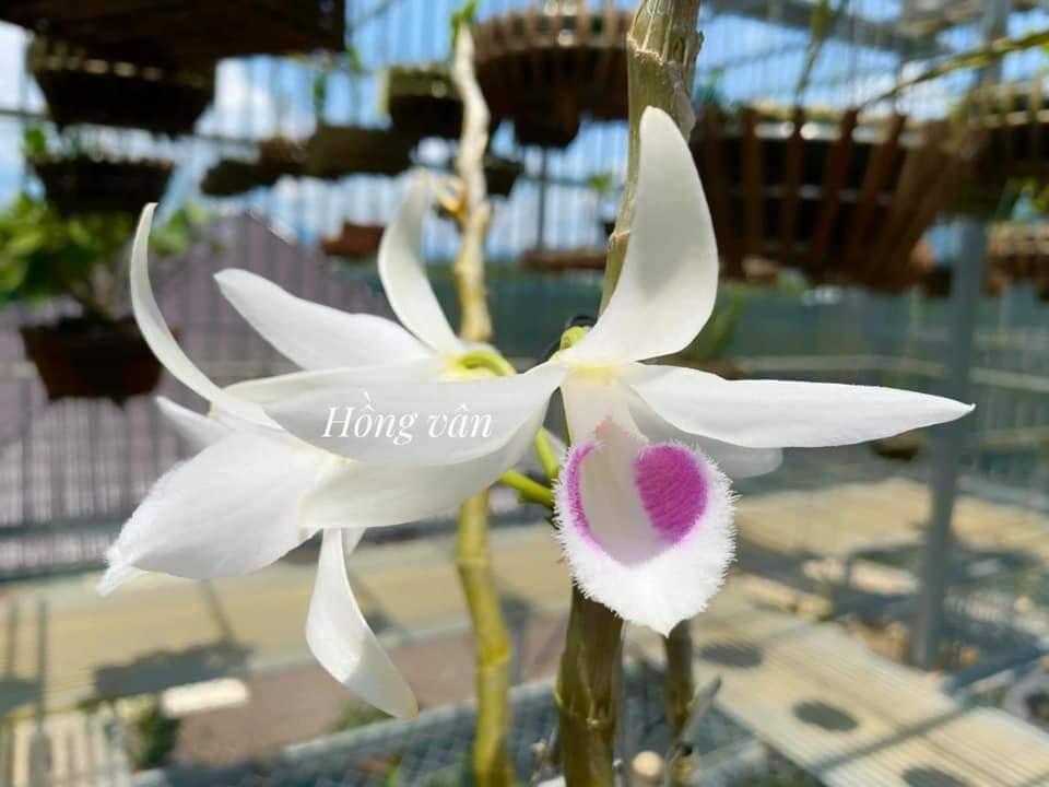 Mặt hoa của dòng năm cánh trắng Hà Tĩnh thuộc dòng phi điệp tím đột biến