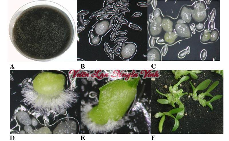 Các bước sinh trưởng của lan gieo bằng hạt