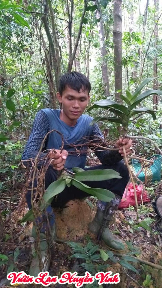 Những người đi tầm lan sưu tầm lan đai châu rừng.