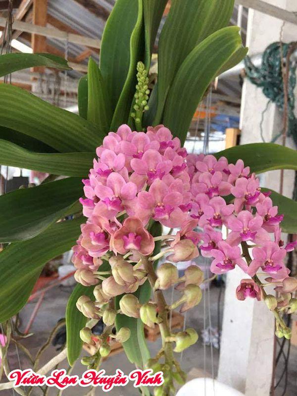 trồng lan đai châu bao lâu ra hoa