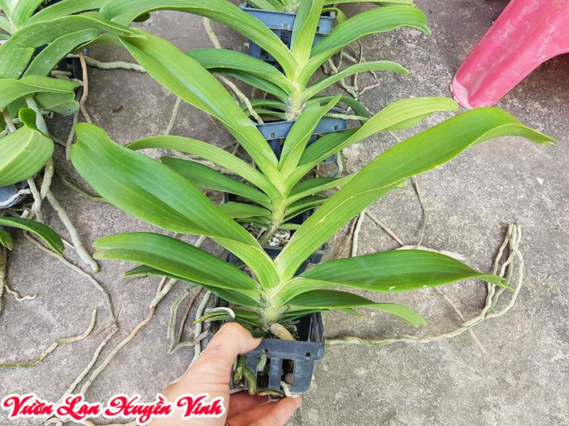 Đan châu Thái với sức sống mãnh liệt nên trồng dễ hơn đai châu rừng.