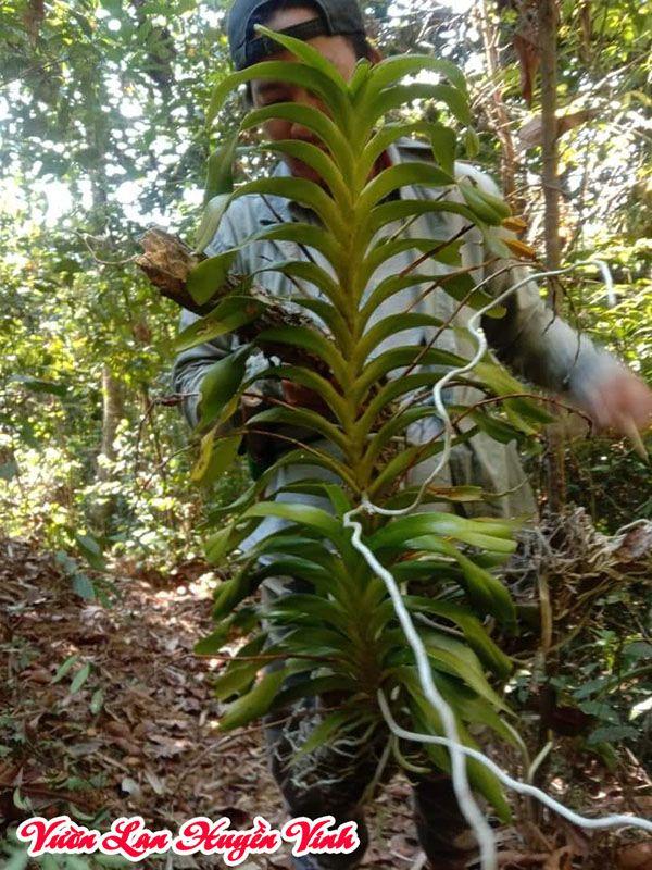 Đai châu rừng mới khai thác tại rừng. Thân cao nhưng thon gầy, lá nhiều nhưng dài, nhỏ.