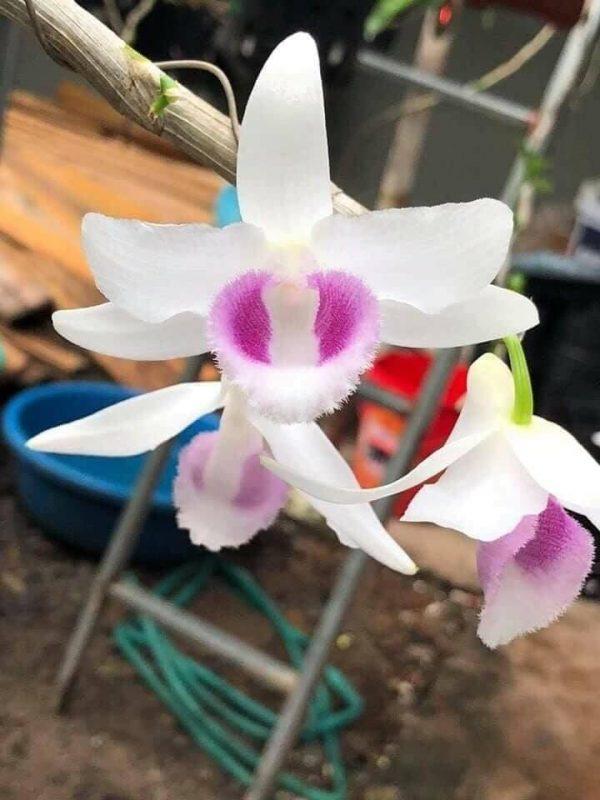 Mặt hoa  5 cánh trắng HO - Hiển Oanh Hoà Bình