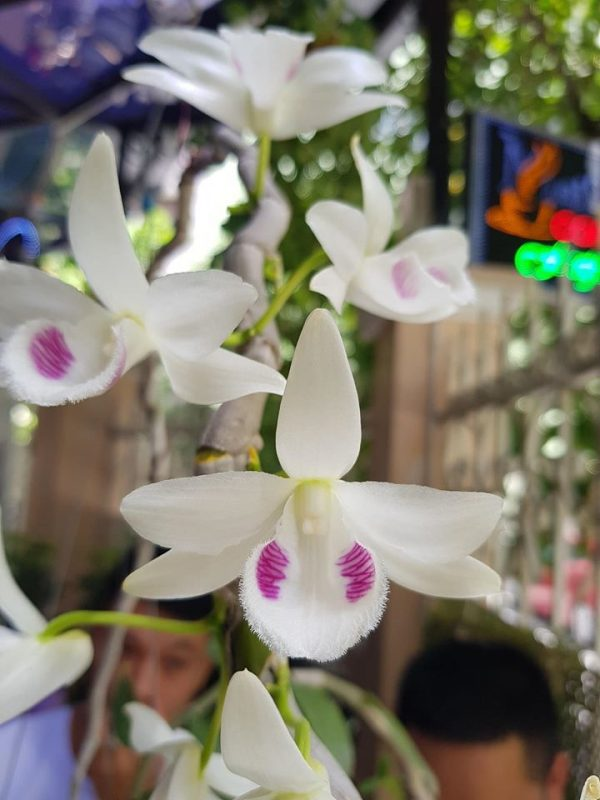 Mặt hoa rõ nét của dòng 5 cánh trắng Juliet tiền tỷ