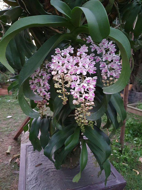 Mặt hoa đai châu rừng có màu trắng đốm tím.