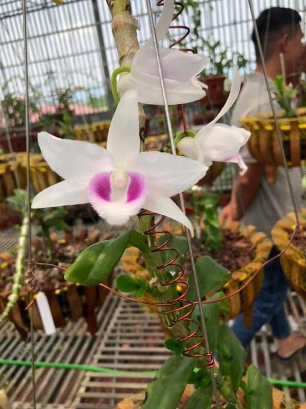 Mặt hoa 5CT HO hay còn gọi là 5 cánh trắng Hiển Oanh