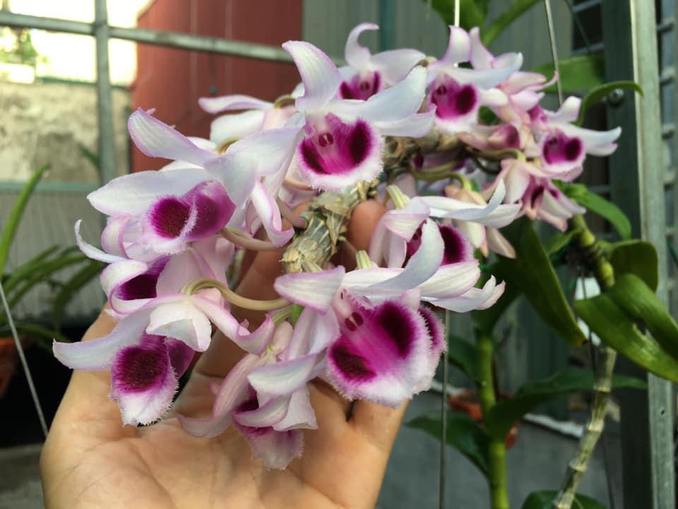 Mặt hoa phong lan phi điệp tím với màu sắc đặc trưng