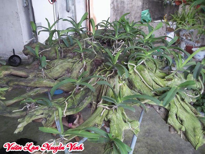 cách ghép lan đai châu vào gỗ nhãn