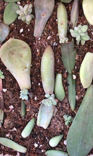 Kết quả khi trồng sen đá khi mới mua về sau khoảng 1-2 tuần trồng.
