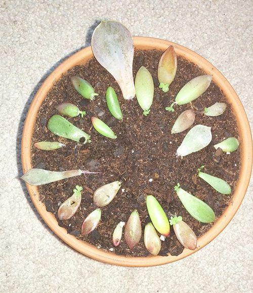Cách trồng sen đá khi mới mua về vào chậu.