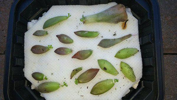 cách trồng sen đá khi mới mua về