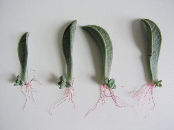Các bước phát triển của lá sen đá được trồng khi mới mua về