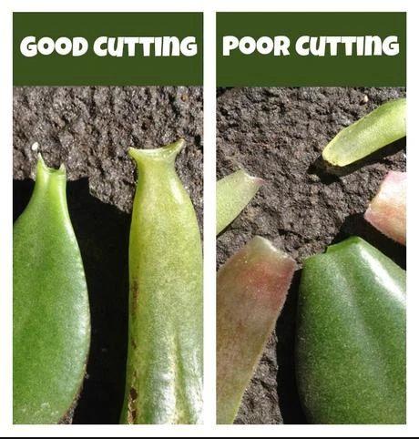 Hướng dẫn cắt nách lá khi trồng. Bên trái là cắt đúng cách, bên phải là cắt lá sai cách.